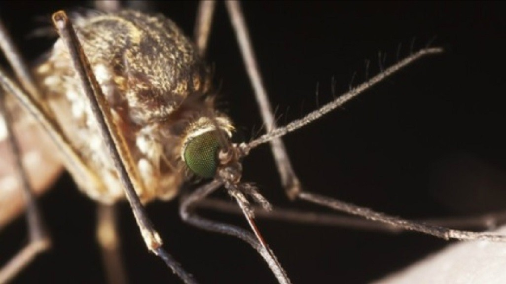 Close-up of a female mosquito.
